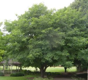 Yellowwood-tree
