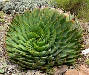 Aloe-Vetplante-South-Africa