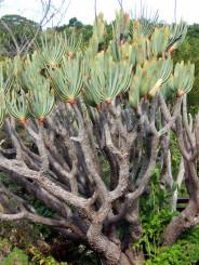 Aloe-plants