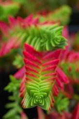 Crassula-Succulent-Plant