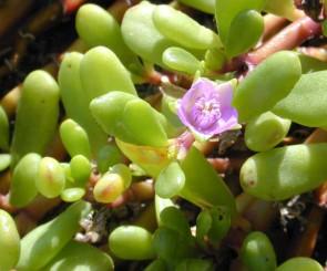 Mesembs-plants