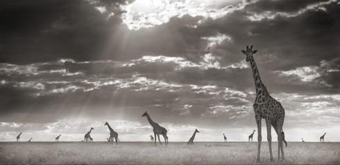 Giraffes-Farm