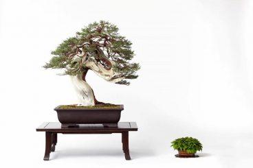 gorgeous bonsai tree
