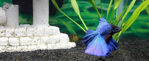 fish tank, pet, betta